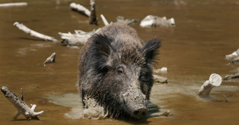 Wild boar in water.