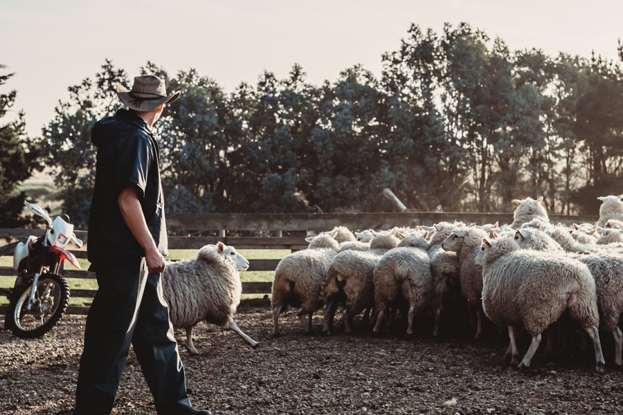Farmer mustering the sheep in New Zealand