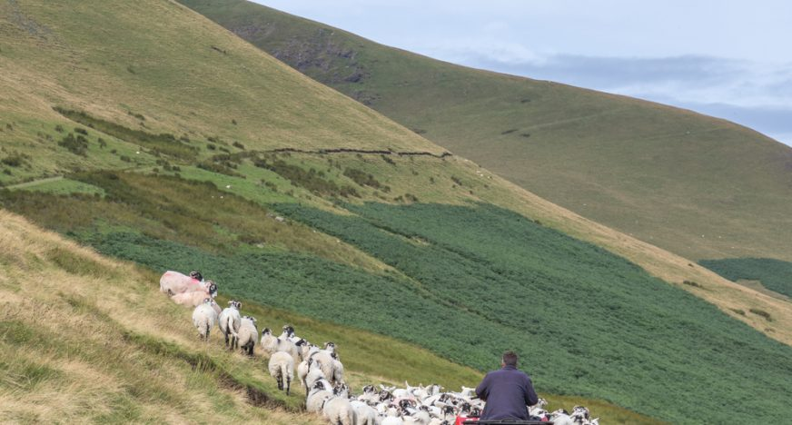 Man on a quad bike herding sheep